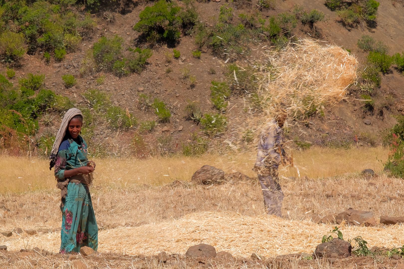 teff crops during harvest season